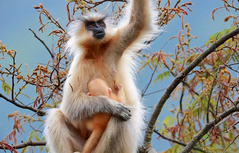 Golden langur in a national park in Bhutan